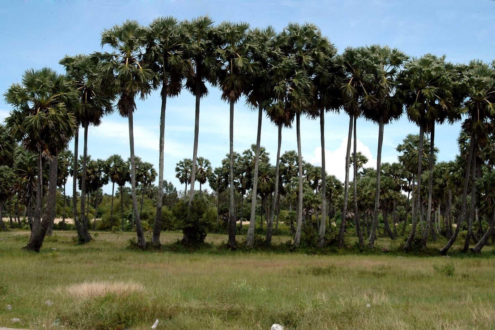 Dừa nước, thốt nốt – Quà riêng của miệt đồng bằng sông Cửu Long